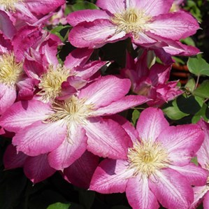 Plant library costa farms clematis spp mightylinksfo
