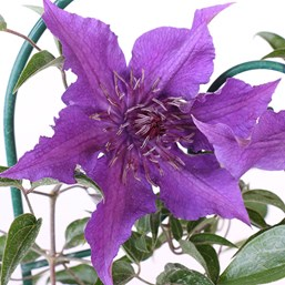 Clematis 'Guiding Promise'