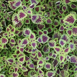 Plectranthus 'Burgundy Wedding Train'