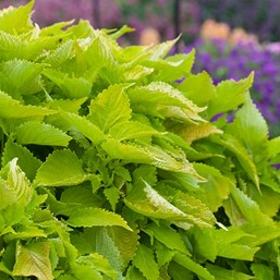 Plectranthus 'Lime Time'