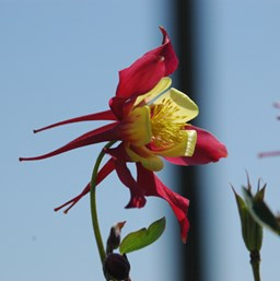 Aquilegia 'Little Lanterns'