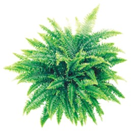 Compact Boston Fern