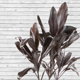 Cordyline fruticosa 'Black Mystique'