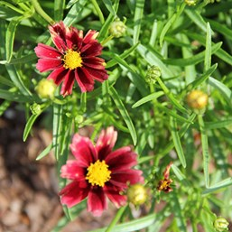 Coreopsis 'Red Elf'