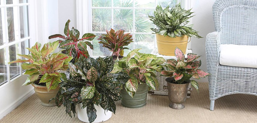 Red Aglaonema | Costa Farms on evergreen identification guide, hydrangea identification guide, daylily identification guide, flower identification guide, plant identification guide, leaf identification guide, hyacinth identification guide, seed identification guide, weed identification guide, herb identification guide, succulents identification guide, orchid identification guide, white identification guide, rose identification guide, furniture identification guide, vegetable identification guide, grass identification guide, perennial identification guide, wildflower identification guide, vine identification guide,