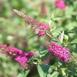 Flowers for florida costa farms butterfly bush mightylinksfo