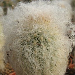 Old Man of Peru Cactus