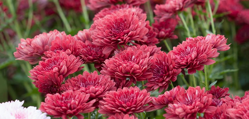 Chrysanthemum spp.