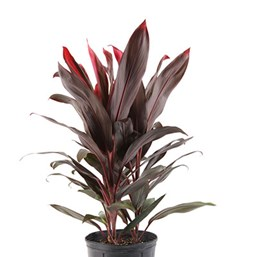 Cordyline fruticosa 'Florida Red'