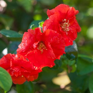 Plant library costa farms chaenomeles speciosa flowering quince mightylinksfo
