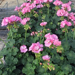 Pelargonium 'Big EZEE Pink'