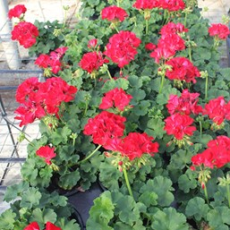 Pelargonium 'Big EZEE Red'