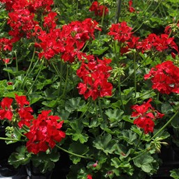 Pelargonium 'Dixieland Deep Red'