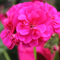 Pelargonium 'Great Balls of Fire Deep Rose'