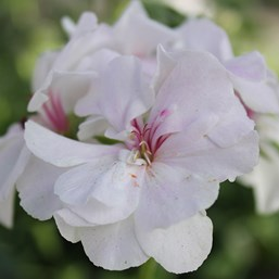 Pelargonium 'Great Balls of Fire White'