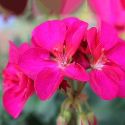 Pelargonium 'Patriot Bright Violet'