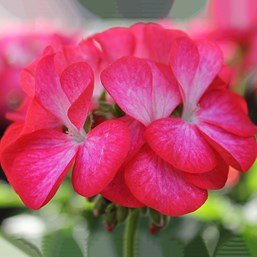 Pelargonium 'Pinto Premium Rose Bicolor'