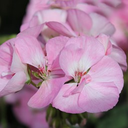 Pelargonium 'Survivor Baby Face'