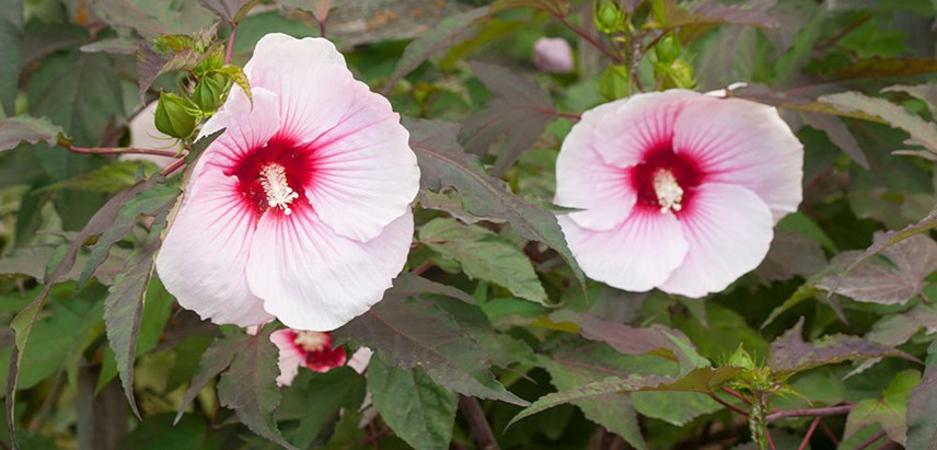 Hibiscus Hardy Costa Farms