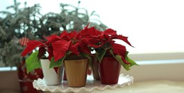Pets and Holiday Plant Myths