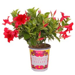 how to take care of a mandevilla plant