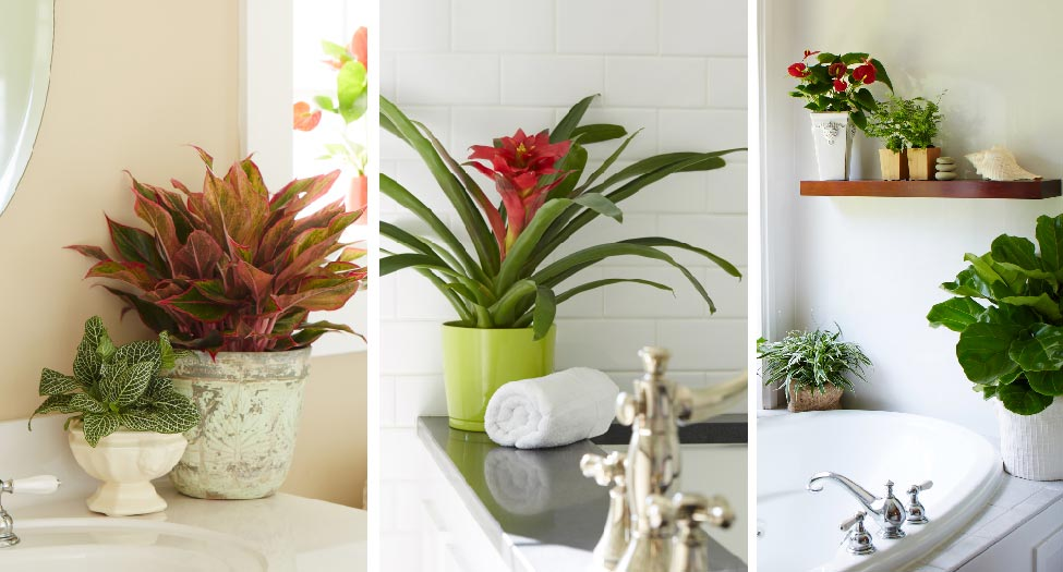 Delightful Bathroom Plants Part - 12: Costa Farms