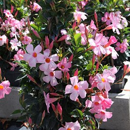 Mandevilla Costa Farms