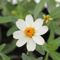 Zinnia haageana 'Crystal White'