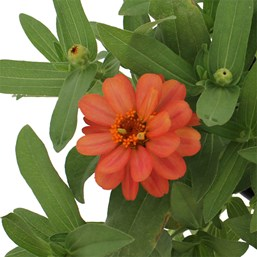 Zinnia 'Profusion Double Deep Salmon'