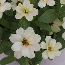 Zinnia 'Profusion Double White'