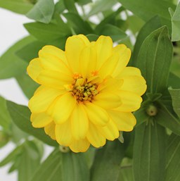 Zinnia 'Profusion Double Yellow'