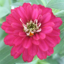 Zinnia marylandica 'Zahara Double Cherry'