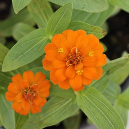 Zinnia 'Zinnita Orange'