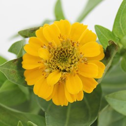 Zinnia 'Zinnita Yellow'