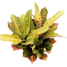 Codiaeum 'Florida Select'