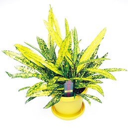 Codiaeum 'Gold Star'