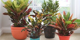 Decorate Your Home and Garden with Crotons