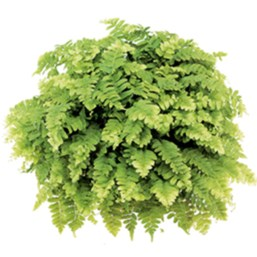 Delilah Boston Fern