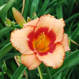 Hemerocallis 'Strawberry Candy'