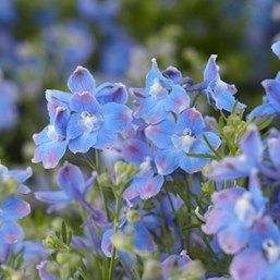 Delphinum grandiflorum 'Summer Blues'