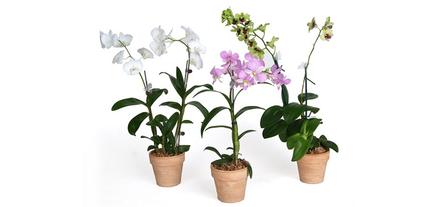 Are Lilies Acid Loving Plants moreover Orchids together with mon Orchid Problems further Orchid Dendrobium likewise P12443 Anemone Hupehensis Japonica Pamina Windflower. on growing orchids in your home