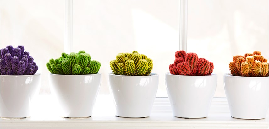 Desert gems cacti costa farms - Indoor colorful plants ...