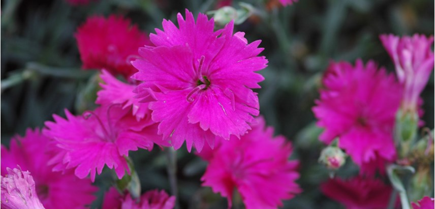 Dianthus perennial costa farms dianthus mightylinksfo