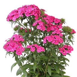 Dianthus perennial costa farms dianthus jolt pink mightylinksfo Choice Image