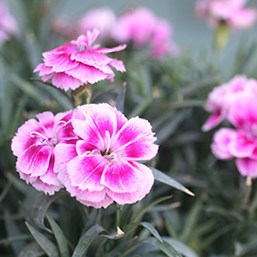 Dianthus 'Sunflor Odessa Easy Pink'