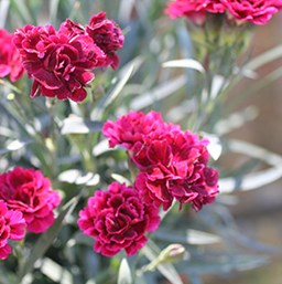 Dianthus 'Sunflor Odessa Red'