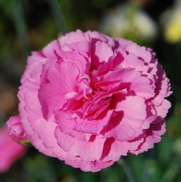 Dianthus 'Rosy Cheeks'