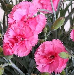 Dianthus 'Scent First Eternity'