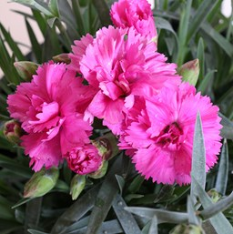 Dianthus 'Scent First Tickled Pink'