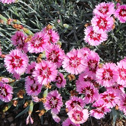 Dianthus perennial costa farms dianthus star single superstar mightylinksfo